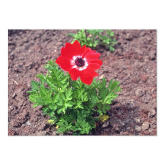 Anémona, (anémona Coronaria) flores Comunicados