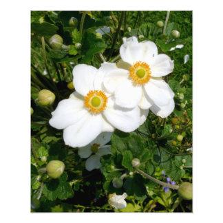 Anémona de California Bush en la floración Cojinete
