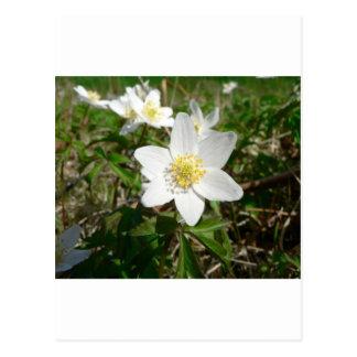 Anémona de madera varias flores de Whte Postal