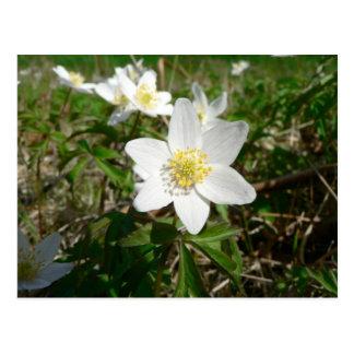 Anémona de madera varias flores de Whte Tarjetas Postales