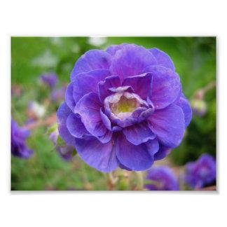 Anémona, flor púrpura, cierre encima de la flor, n fotografías
