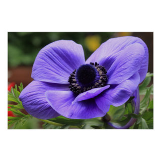 Anémona púrpura póster