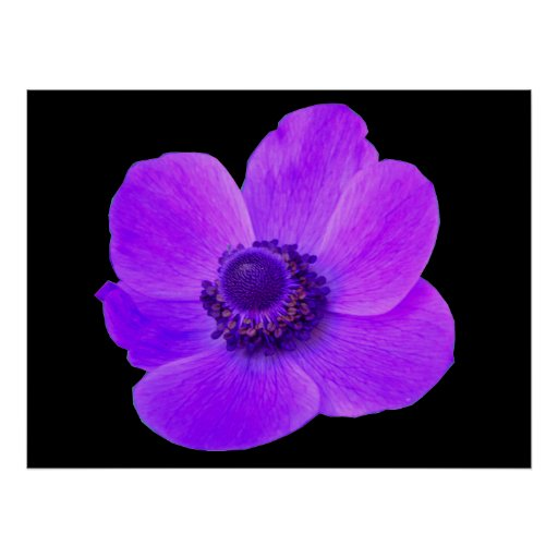 Anémona púrpura Postyer Póster