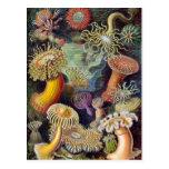 Anémonas de mar del vintage de Ernst Haeckel Tarjeta Postal