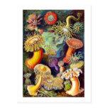 Anémonas de mar del vintage, Ernst Haeckel Tarjetas Postales