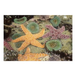 Anémonas verdes gigantes y estrellas de mar ocres fotografías