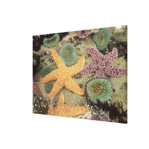 Anémonas verdes gigantes y estrellas de mar ocres lienzo envuelto para galerías
