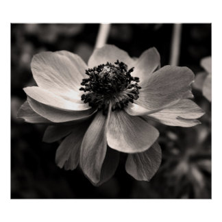 Anemone - Black and White Floral photography Poster