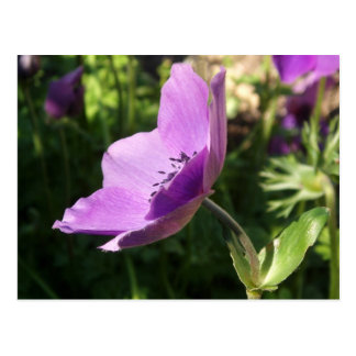 Anemone Garden Poscard Post Cards