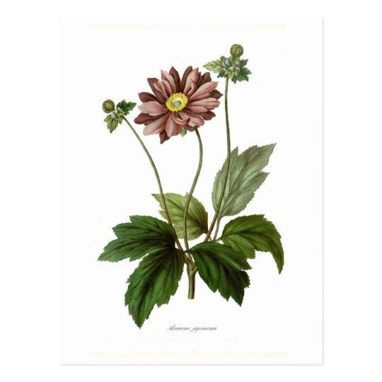 Anemone japonica postcard