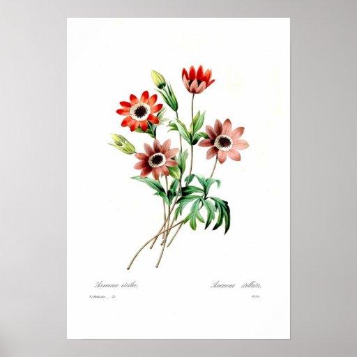 Anemone stellata poster
