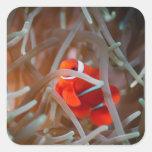 Anemonefish 2 del payaso pegatinas cuadradases personalizadas