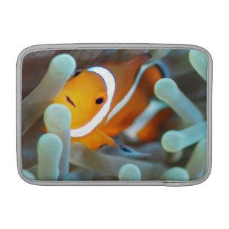 Anemonefish 3 del payaso funda  MacBook