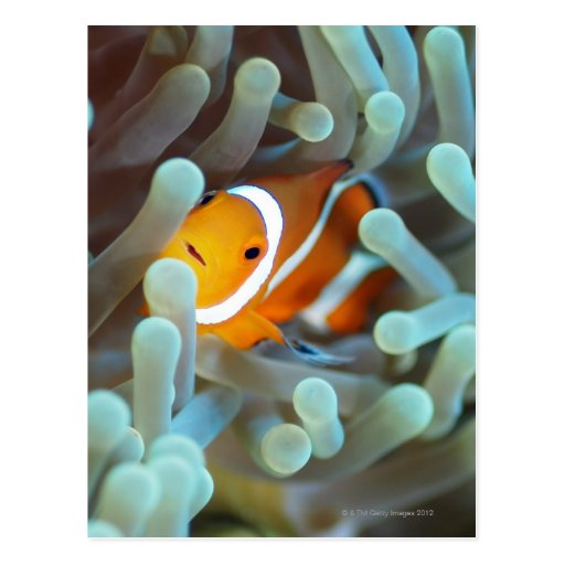 Anemonefish 3 del payaso tarjetas postales