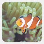 Anemonefish 4 del payaso colcomanias cuadradases