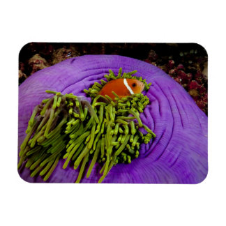 Anemonefish and large anemone magnet