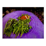 Anemonefish and large anemone post cards