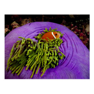Anemonefish and large anemone postcard