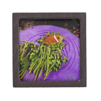 Anemonefish and large anemone premium keepsake boxes
