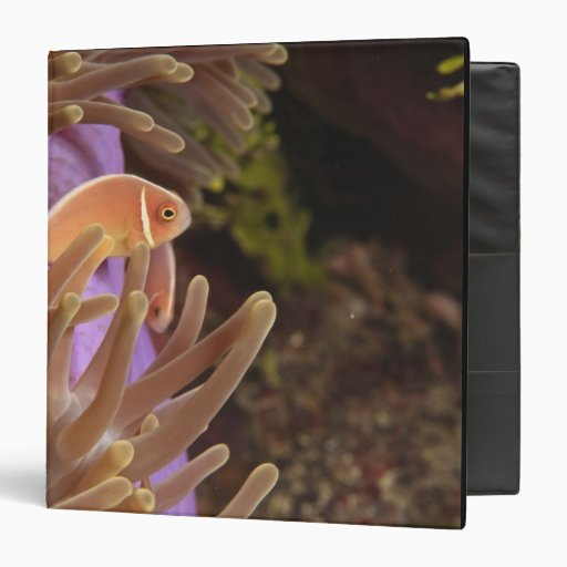 anemonefish, buceo con escafandra en Tukang