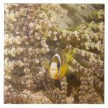 Anemonefish de Clark juvenil (Amphiprion) Azulejo Cuadrado Grande