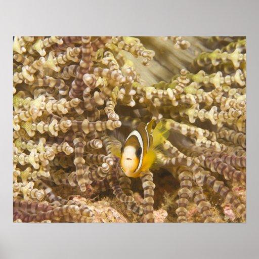 Anemonefish de Clark juvenil (Amphiprion) Póster