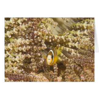 Anemonefish de Clark juvenil (Amphiprion) Tarjeta De Felicitación