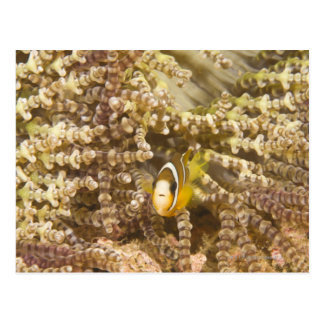 Anemonefish de Clark juvenil (Amphiprion) Tarjetas Postales