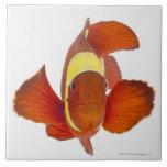 anemonefish de la Espina-mejilla (biaculeatus de P Azulejo Cuadrado Grande
