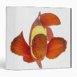 """anemonefish de la Espina-mejilla (biaculeatus de P Carpeta 1 1/2"""""""