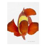 anemonefish de la Espina-mejilla (biaculeatus de Tarjeta Postal