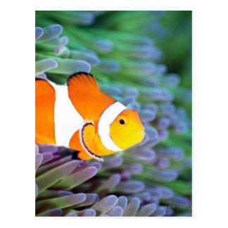 Anemonefish del payaso tarjetas postales