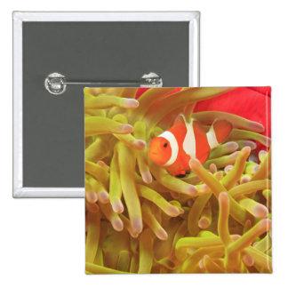 anemonefish en anémona de mar pacífica del indo gi pin cuadrado