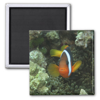 Anemonefish negro (melanopus del Amphiprion) adent Imán Cuadrado