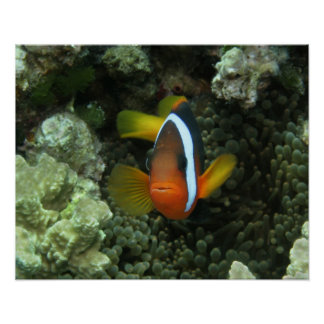 Anemonefish negro (melanopus del Amphiprion) adent Póster