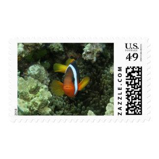 Anemonefish negro (melanopus del Amphiprion) Estampilla
