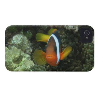 Anemonefish negro (melanopus del Amphiprion) Funda Para iPhone 4