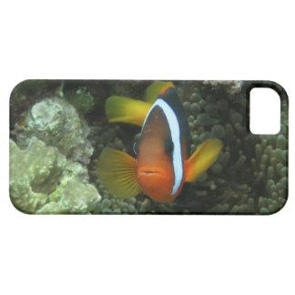 Anemonefish negro (melanopus del Amphiprion) iPhone 5 Carcasa