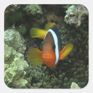 Anemonefish negro (melanopus del Amphiprion) Pegatina Cuadrada