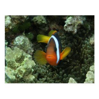 Anemonefish negro (melanopus del Amphiprion) Postal