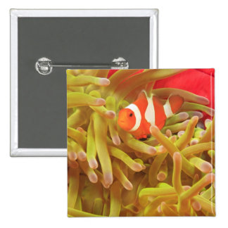 anemonefish on giant indo pacific sea anemone, 2 inch square button