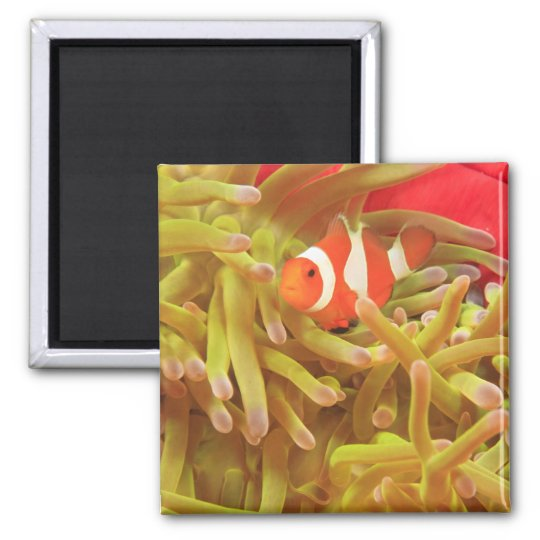 anemonefish on giant indo pacific sea anemone, 2 inch square magnet