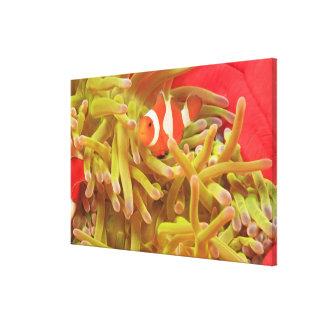 anemonefish on giant indo pacific sea anemone, canvas print
