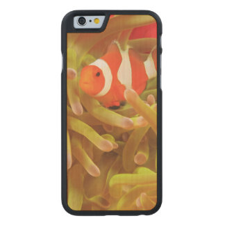 anemonefish on giant indo pacific sea anemone, carved maple iPhone 6 case