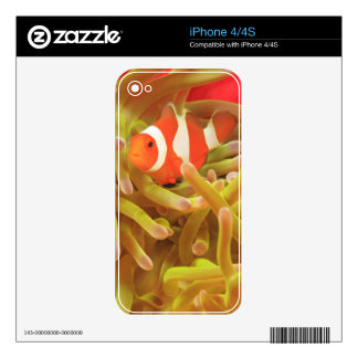 anemonefish on giant indo pacific sea anemone, decal for the iPhone 4S