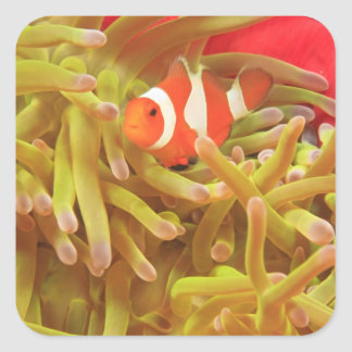 anemonefish on giant indo pacific sea anemone, sticker