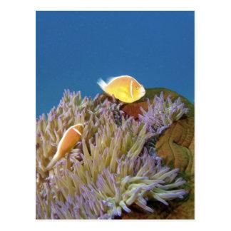 Anemonefish rosado (perideraion del Amphiprion) ad Tarjetas Postales
