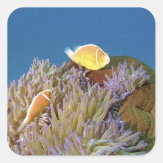 Anemonefish rosado (perideraion del Amphiprion) Pegatina Cuadrada