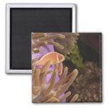 anemonefish, Scuba Diving at Tukang 2 Inch Square Magnet