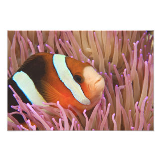 anemonefish, Scuba Diving at Tukang 2 Photo Print